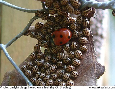 Where do Ladybirds go in Winter? - UK Safari