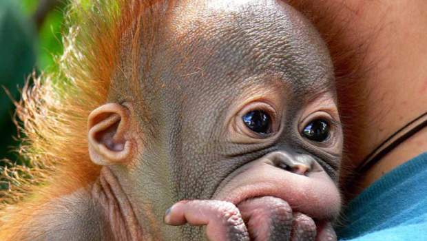 Ultraculture | Palm Oil and Orangutans