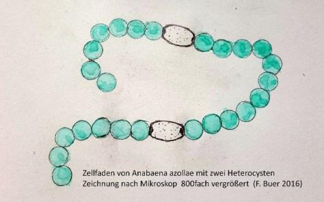 Fädige, blaugrüne Cyanobakterien (Anabaena azollae) leben in lockeren Knäueln in Einsenkungen an der Schuppenunterseite. Die blaugrünen Zellen sind wie auf einer Perlenkette aufgereiht, unterbrochen von größeren, farblosen und dickwandigen Zellen (Hetorocysten), die mit Hilfe des Enzyms Nitrogenase Luftstickstoff in Ammoniak verwandeln.