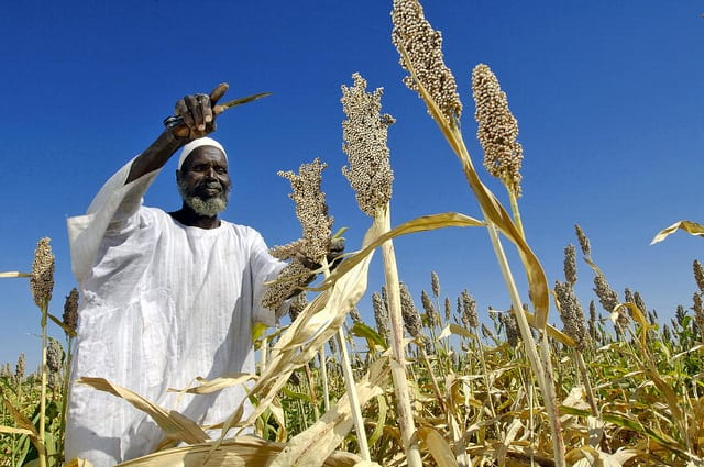 Farmer Harvests Sorghum Seeds in Sudan UN Photo/ Fred Noy