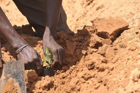 A farmer plants acacia seedlings in Liguere, Senegal. Photo: FAO/Seyllou Diallo