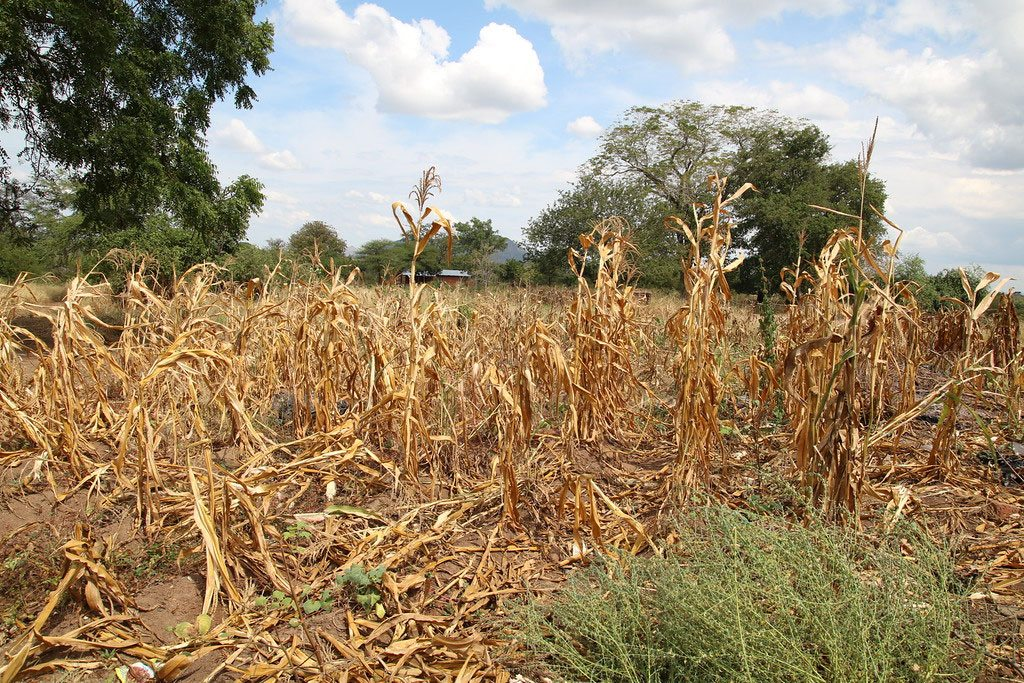 Photo: Wilted crops in Neno district, Malawi.