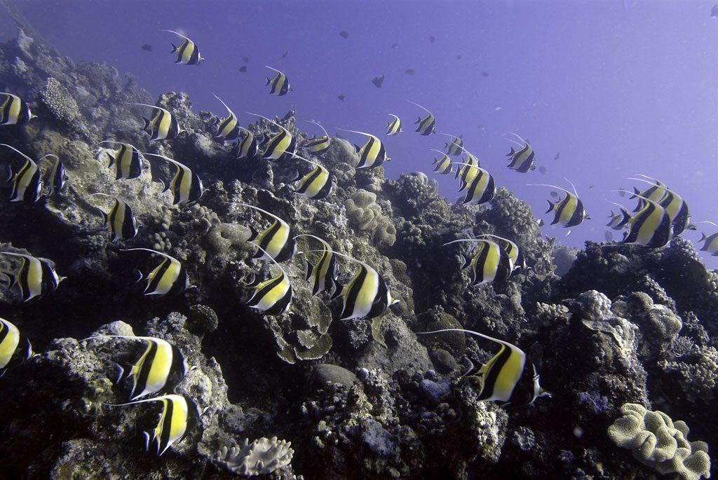 A school of Moorish Idols cruise over the coral reef, Ha'apai, Tonga. Photo: UNEP GRID Arendal/Glenn Edney