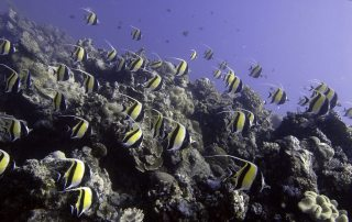 A school of Moorish Idols cruise over the coral reef, Ha'apai, Tonga. Photo: UNEP GRID Arendal/Glenn Edney