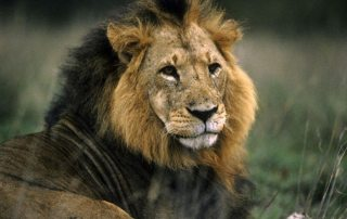 A lion watches his territory in Kenya. Photo: UN/DPI Photo