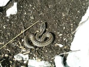 Viper beim Sonnenbad