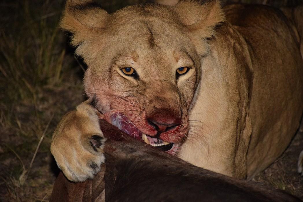 Safari por Masai Mara leon noche