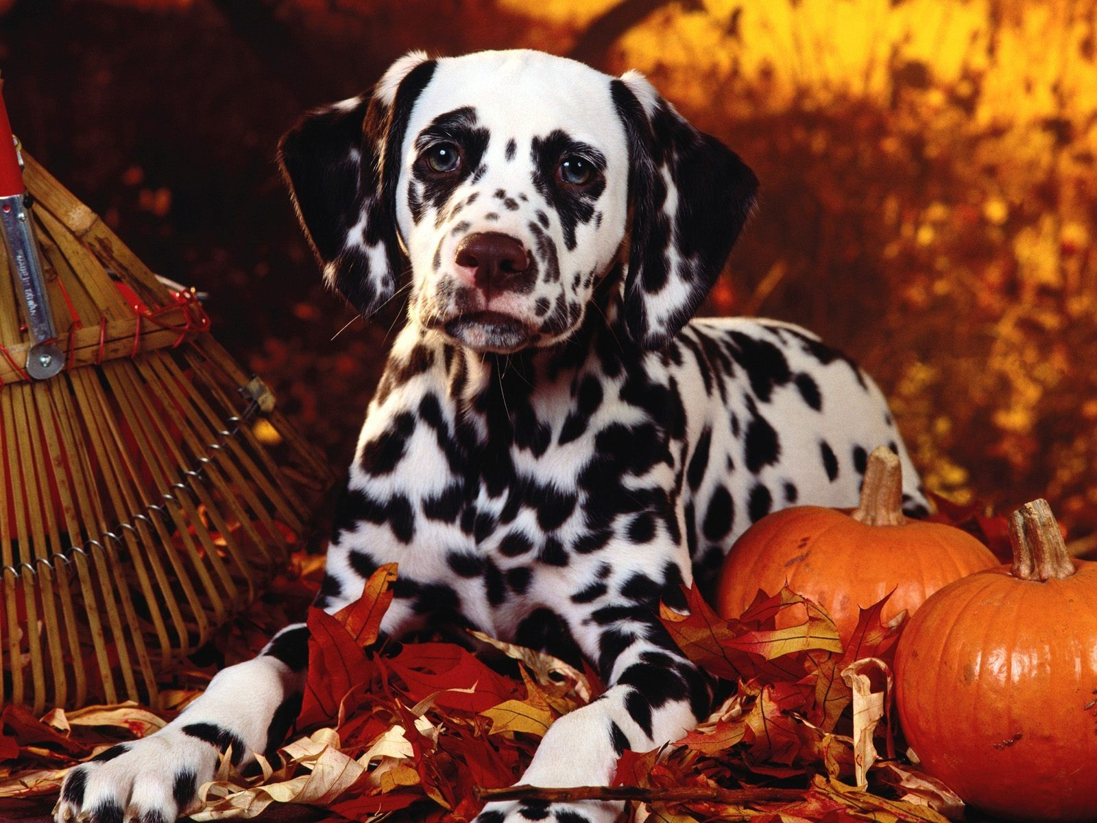 Fall Pumpkin Computer Wallpaper 30 Fonds D 233 Cran Chiens Et Chiots Animaux Fonds D