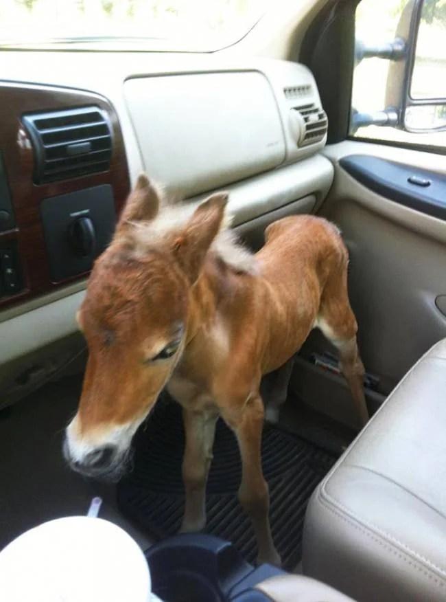 cavallo in macchina