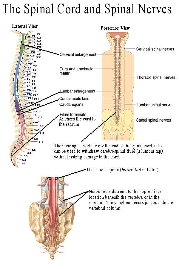 BIOL 237 Class Notes - The Spinal Cord and Spinal Nerves