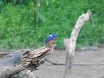 Kingfisher (matín pescador)