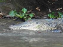 Cocodrilo en río Kinabatangan