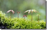 Maple tree saplings growing on moss