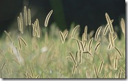 Bristle Grass - unpocogeek.com