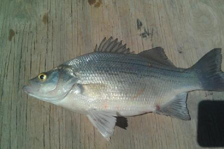 Catching White Bass