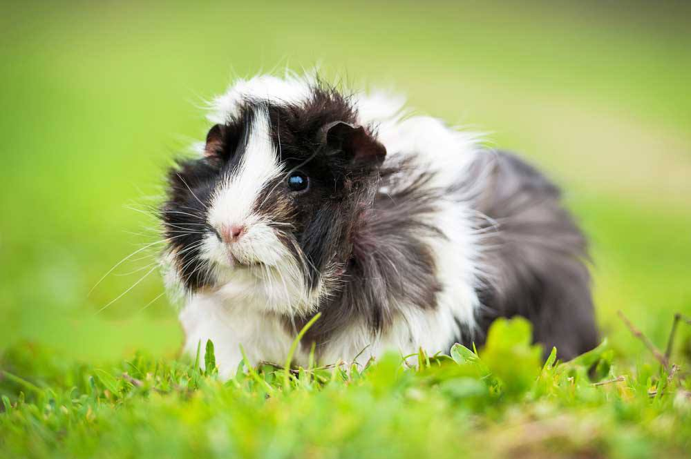 Guinea Pig Vet Perth  Melbourne The Unusual Pet Vets
