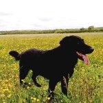 Josie with buttercups