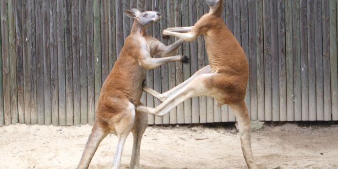 Qantas: hevige concurrentie op 'Kangaroo route'