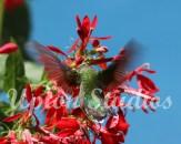 Hummingbird2(Web)