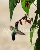 Hummingbird5(Web)