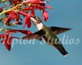 Hummingbird6(Web)