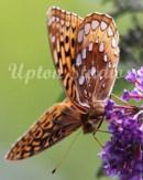 LeopardButterfly3(Web)