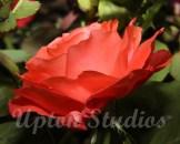 RoseGarden1(Web)