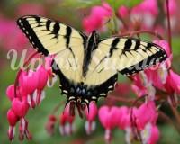 Swallowtail2(Web)