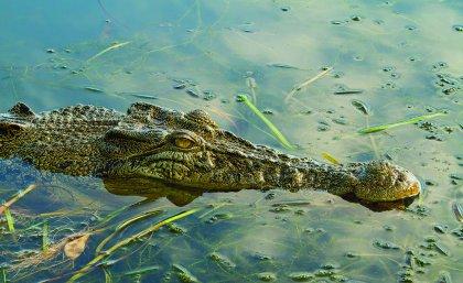 "An estuarine crocodile, also known as a ""saltie""."