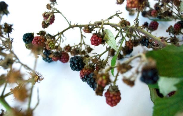 studio-swine-seed-socks-berries