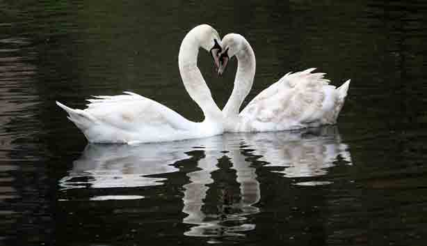 Swans-in-love-two-bodies-one-heart-in-Germany