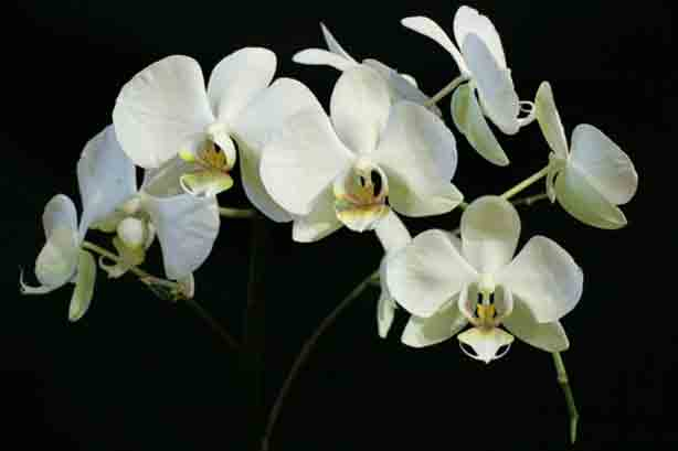 orchid-614