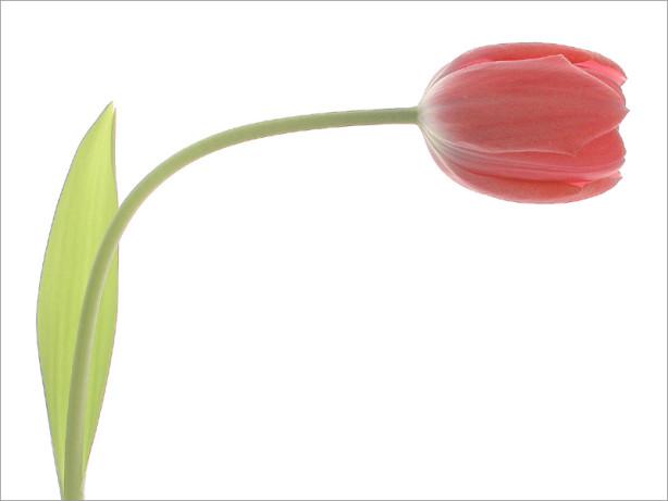 Gracefull Tulip Bahman Farzad