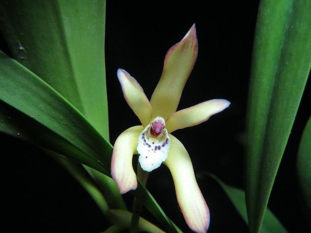 Maxillaria consanguinea Luis Renato