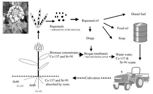 rapeseed-bioremediation-biofuel-diagram