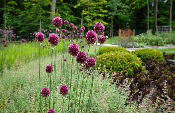 Allium-sphaerocephalon-614