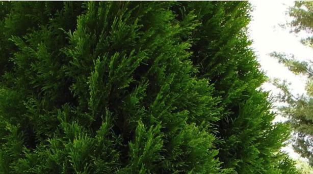 Emerald green arborvitae from Garden Goods Direct