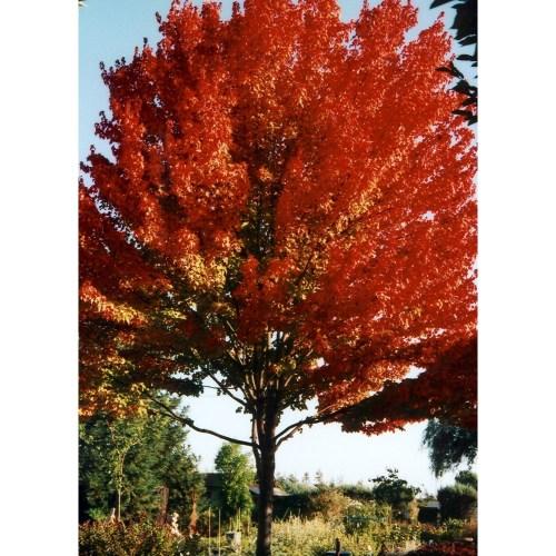 Medium Crop Of October Glory Maple
