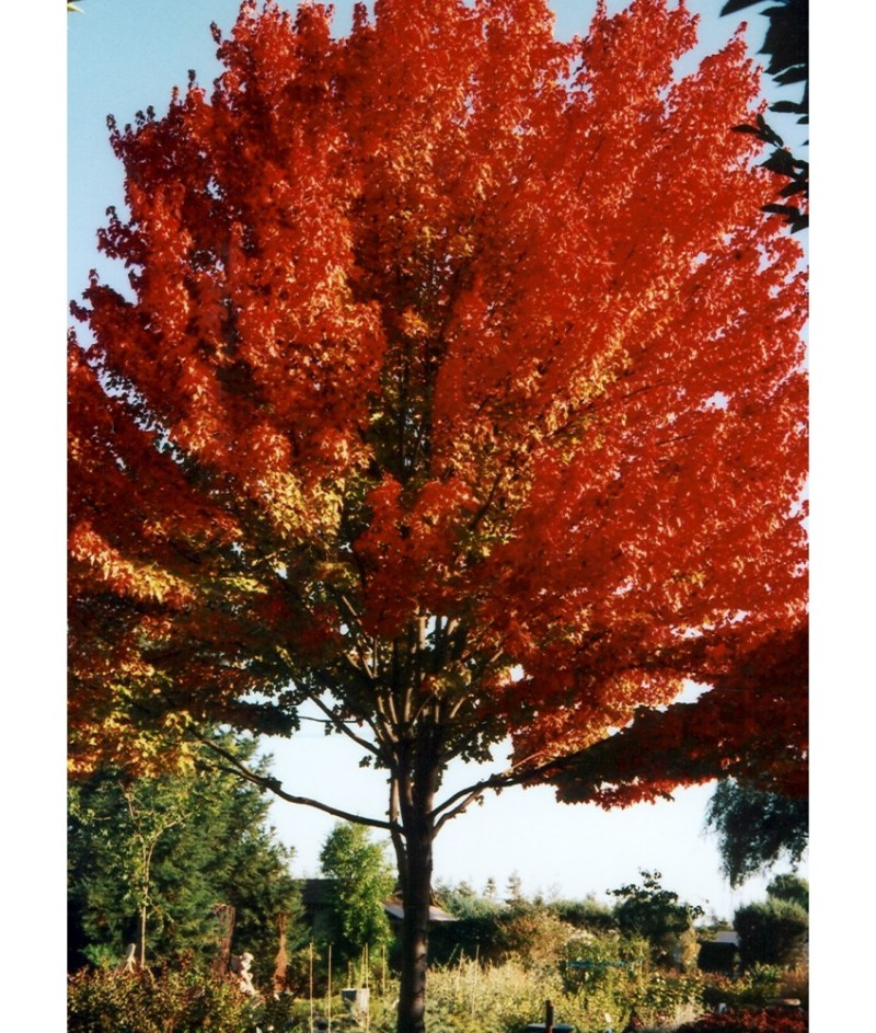 Large Of October Glory Maple