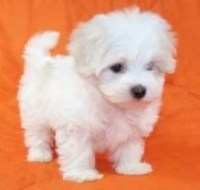 Maltese Puppies for sale - Dogs & Puppies - Oregon - Free ...