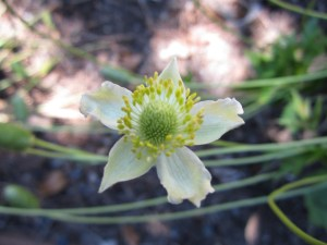 Anemone virginiana (thimbleweed) section D