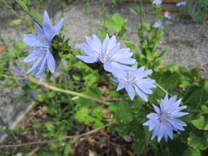 Cichorium intybus (chicory) section D
