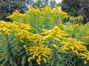 Solidago canadensis (Canada goldenrod) section B