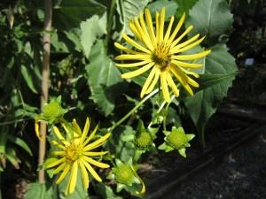 Silphium perfoliatum (compass plant, cup plant) section D