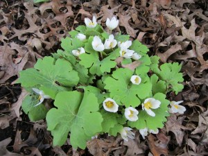 Bloodroot (Sanguinaria canadensis), an understory plant of the forests east of the Mississippi.