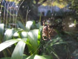 Zen master spider