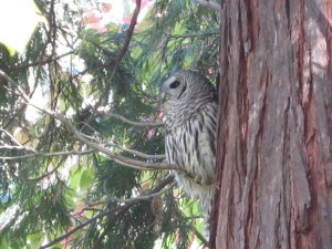 Barred owl (Strix varia) in woods north of Cascara Circle.