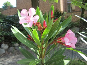 Oleander (Nereum oleander) in section B.