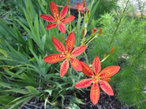 Blackberry lily (Belamcanda chinensis)…is an iris…but who's counting?