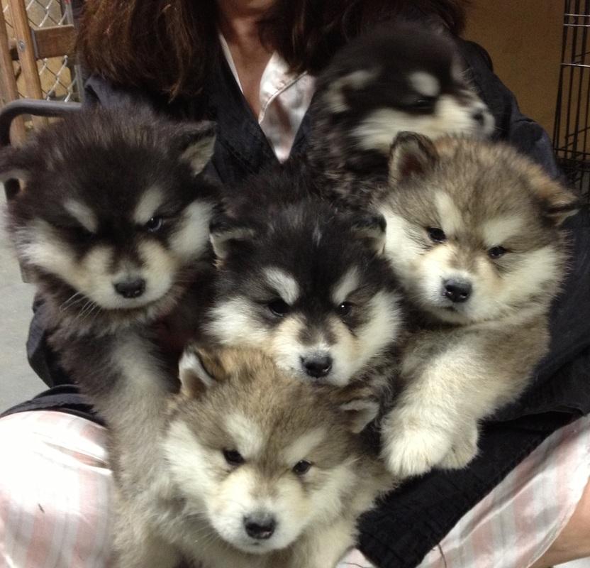 Cute Husky Wallpaper Alaskan Malamute Puppies For Sale Alaskan Malamutes